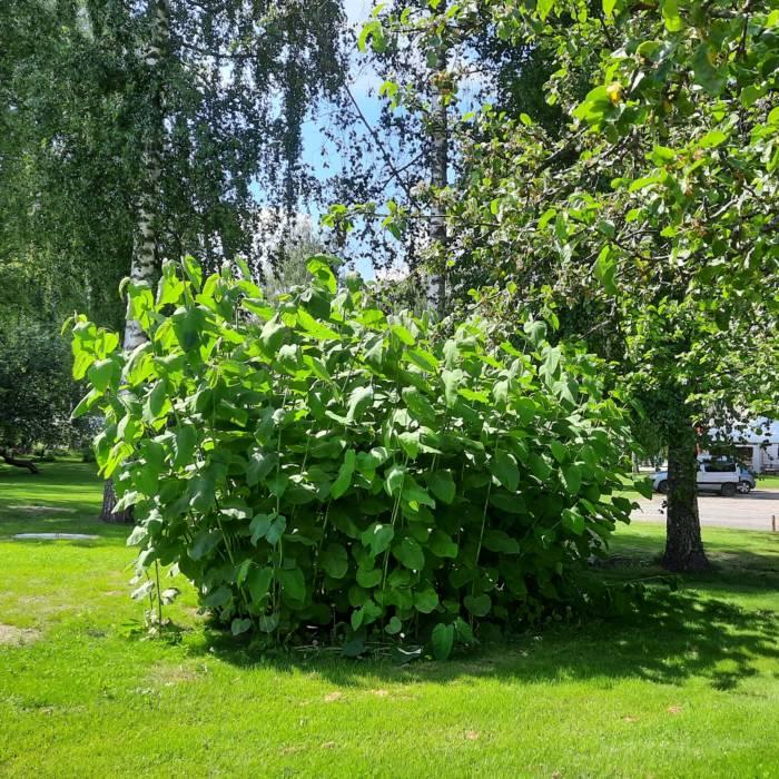 Sahalinintatar on jopa 3 metriä korkea ja sen lehti voi olla 40 cm halkaisijaltaan