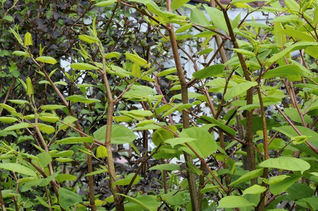 Japanintataren punertavan rusekan ja vihreän kirjavia varsia kuvattu läheltä