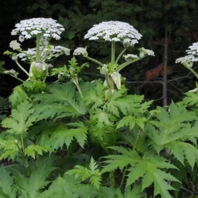 Jättiputkella on valkoinen kukinto ja sahalaitaiset lehdet